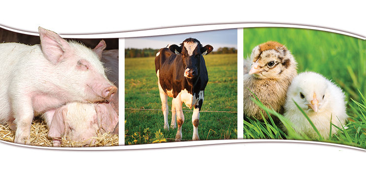 picture of a pig, dairy cow and baby chickens