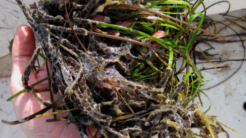 A hand is holding a cluster of green eel grass that has been covered by the goldenstar tunicate. The tunicate grows as a colony and is a brownish colour.