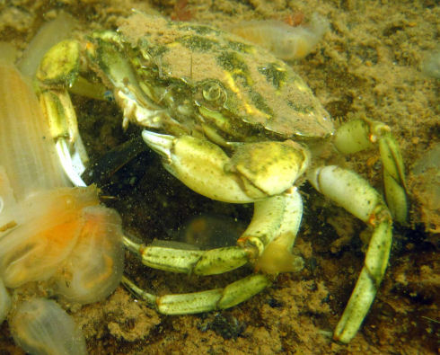 Close up of a green crab holding a live mussel shellfish. The crab is attempting to use its claws to open the mussel shellfish. On the left side of the picture are several vase tunicates (approx. 30 mm in length with a transparent outer covering).