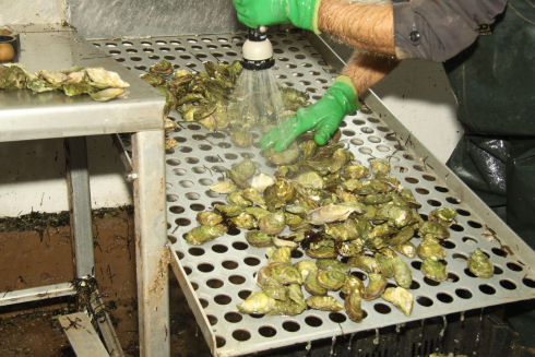 Green coloured oysters are being washed with water. They are sitting on a metal sheet with round holes cut in it.
