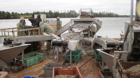 Four men, dressed in rain gear, are shown operating a mechanical oyster grading system near a body of water. Small oyster seed is being delivered to small bins via three different conveyor belts.