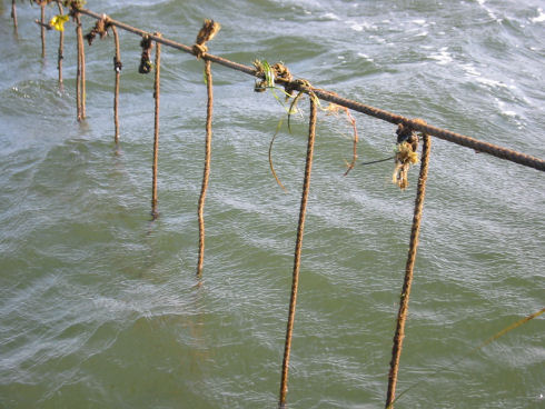 Sections of rope  (1-2 metres long) are suspended from a long rope in the water to collect free swimming mussel larvae