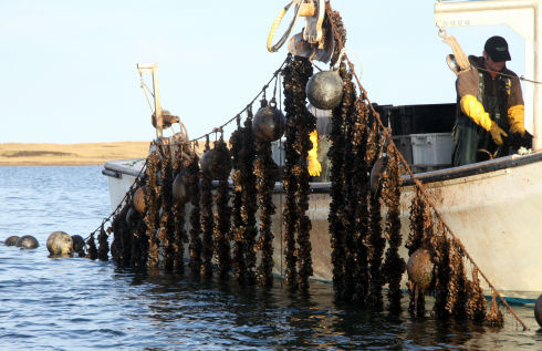A rope long-line, with vertically suspended mussel shellfish socks, is raised out of the water using a hydraulic crane. Two staff are preparing to inspect the mussel shellfish crop