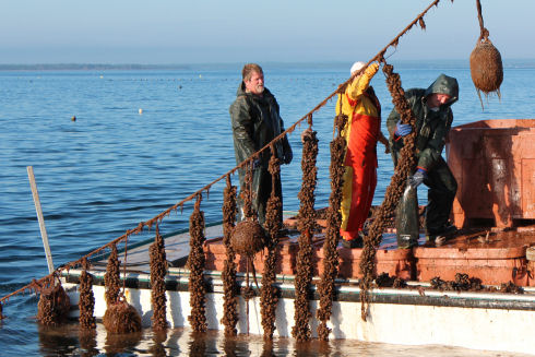 Two men and one woman, dressed in rain gear, are standing on top of insulated tanks in a large fishing vessel. A rope long-line, with mussel shellfish socks suspended vertically, is lifted high into the air using a hydraulic crane. One man lifts a mussel