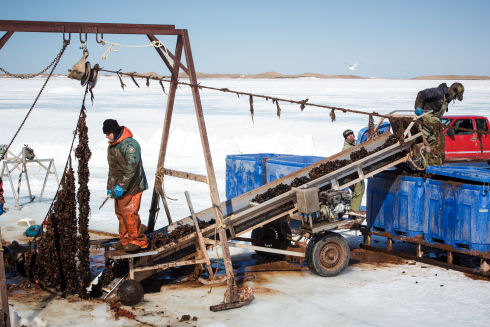 A rope long-line, with vertically suspended mussel shellfish socks, is lifted through a hole cut in the ice. One man stands ready to cut a mussel shellfish sock from the rope long-line and place it on an escalator to drop into large blue tanks.
