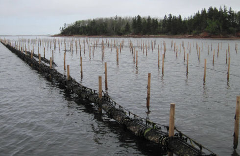 There are a series of large wooden stakes that have been driven into the bottom of the shallow river. The stakes are positioned in straight lines. The line of stakes closest has many plastic bags lifted out of the water.