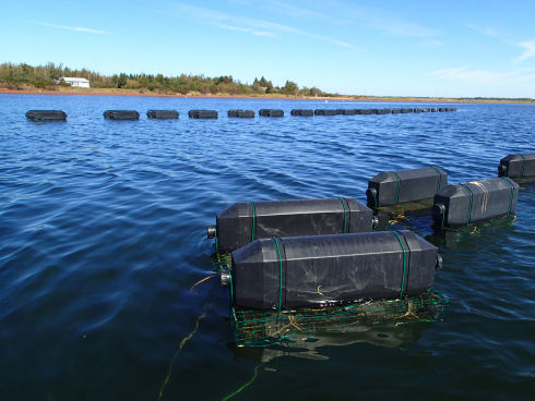 Two rows of floating cages are visible. One row appears in the background near the shore and the other is a close-up of the oyster gear. Each floating cage consists of wire framework, which is underwater, and two black plastic floats.
