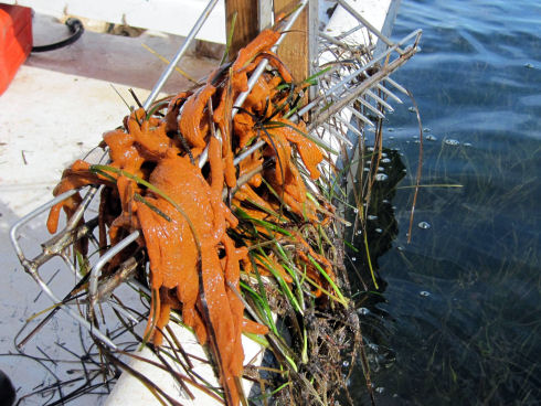 Green eel grass covered with an orange organism, the violet tunicate, is pulled from shallow water using oyster tongs. Oyster tongs resemble two rakes attached together by a hinge in the middle.