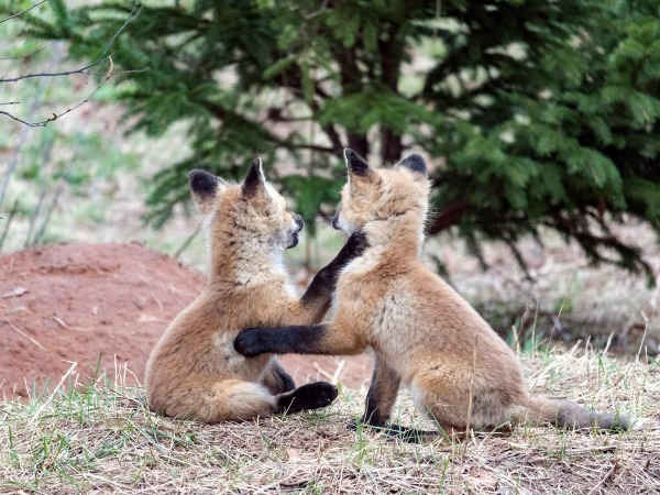 Two young foxes play in a field near a fox den.