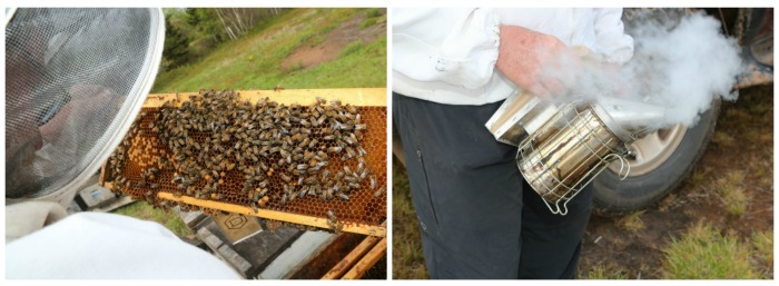 On the left is a wooden frame from a bee hive buzzing with bees. On the right is a smoker used to calm bees down.