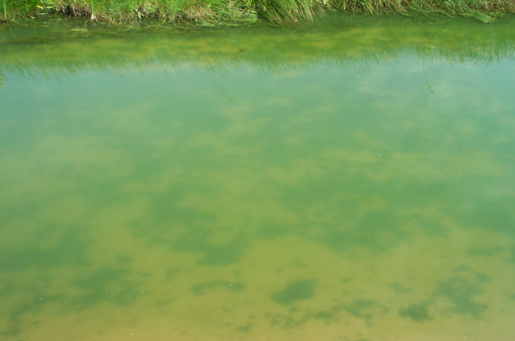 Green filamentous algae on the bottom of a pond