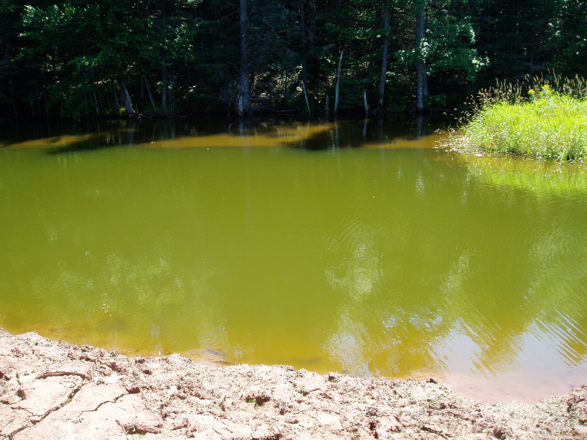 Lime-ricky coloured algal bloom in a pond