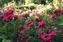Roses in full bloom at Fanningbank, Charlottetown, PEI