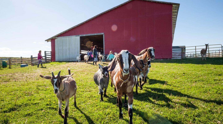 PEI goat farm