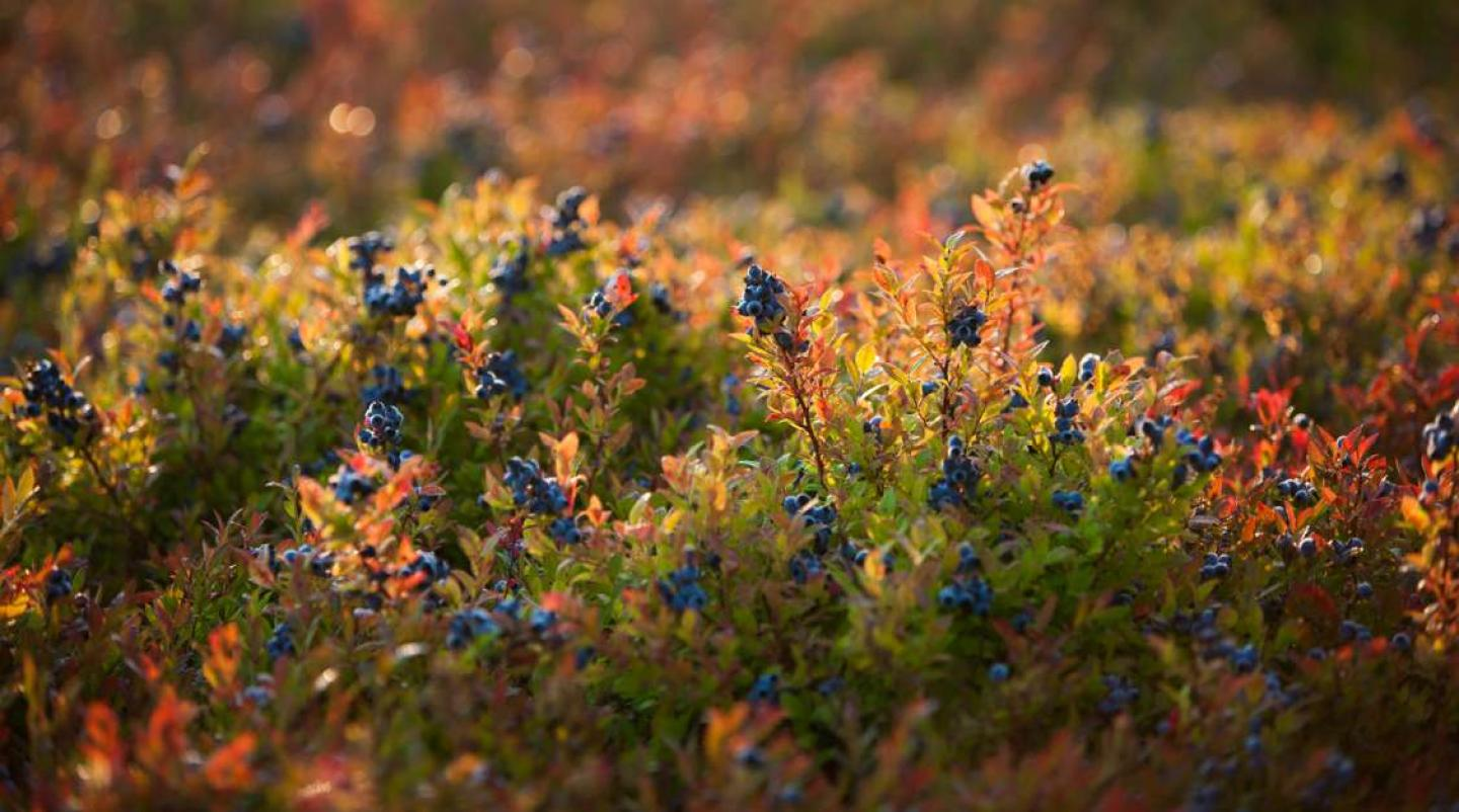 field of wild blueberries in PEI