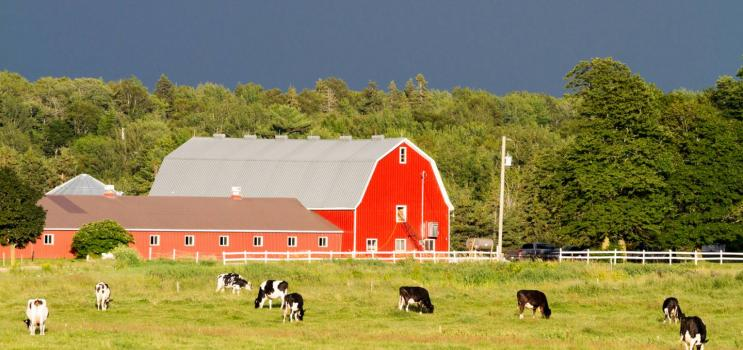 Dairy cows graze in field in St. Peters, PEI