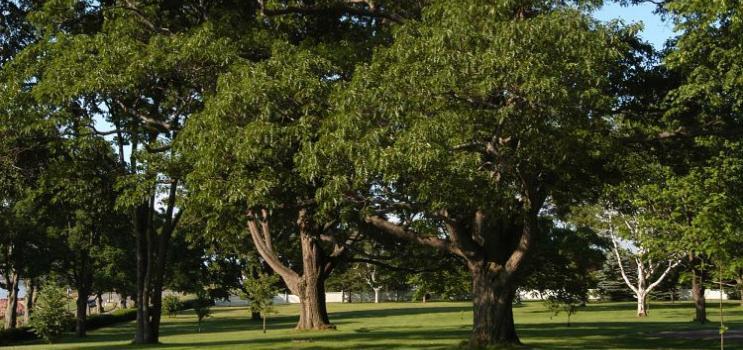 red oak trees