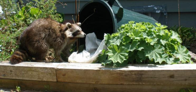 Raccoon getting into garbage can