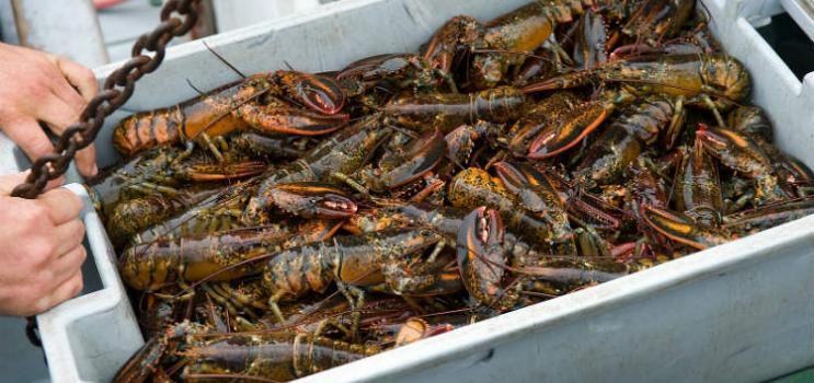 Numerous live PEI lobsters in grey box