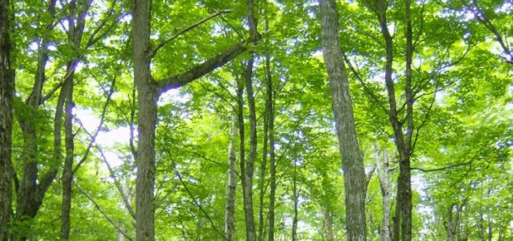 Hardwood stand in full leaf in Valleyfield, PEI