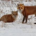 Fox and kit play in the snow in Stratford