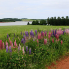 Lupins on a Prince Edward Island Road