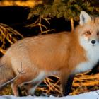 Image of red fox in winter, Prince Edward Island, (c) Tourism PEI