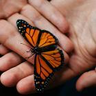 Image de mains tenant un beau papillon noir et orange