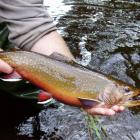 Man's hands holding a trout over a river.