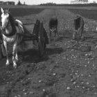 Photograph of four men harvesting potatoes by hand in a field in Prince Edward Island, ca. 1910. In the foreground there is a horse, cart, and dog.