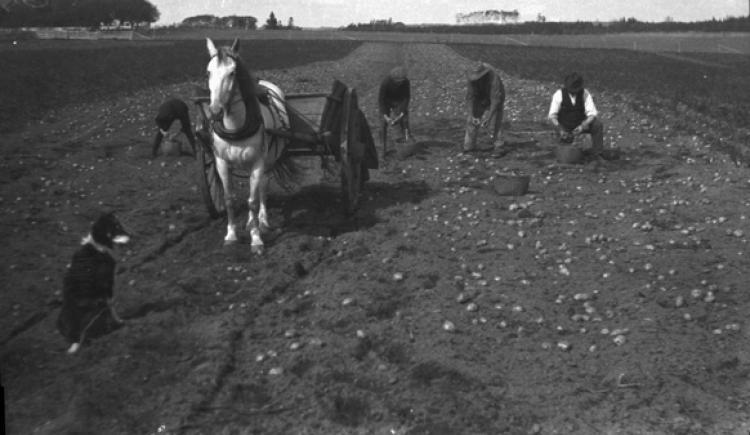 Photo de quatre hommes qui récoltent des pommes de terre à la main dans un champ à l'Île-du-Prince-Édouard, v. 1910. À l'avant-plan, il y a un cheval, une charrette et un chien.