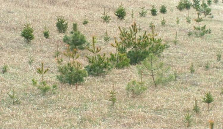 Seedling planting, Brackley, PEI