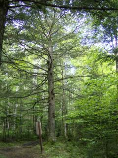 A 200 year old eastern Hemlock growing at the Valleyfield Demonstration Woodlot near Montague