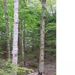 The ranges of White Birch and Yellow Birch overlap in the Acadian Forest