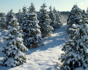 Snow covering trees in at a Christmas Tree farm